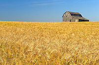 Old barn and barley crop<br /> near Trochu<br /> Alberta<br /> Canada
