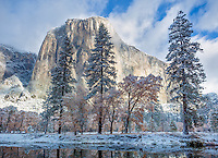 Yosemite National Park, CA: Snow covered trees under El Capitan with reflections in the still waters of the Merced River in late fall.