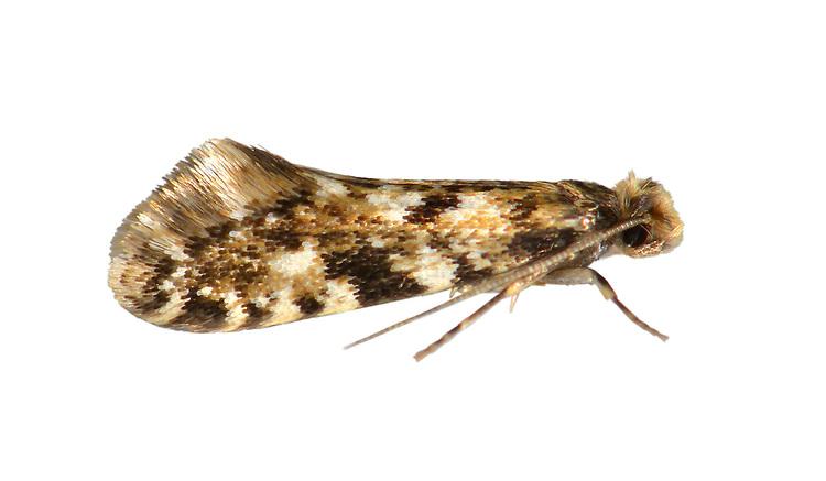 12.016 (0216)<br /> Cork Moth - Nemapogon cloacella