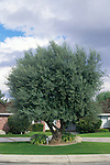11269-CD Majestic Beauty Olive, Olea europeae `Majestic Beauty', non-fruiting variety, matures with gnarled trunk, at Bakersfield, CA USA