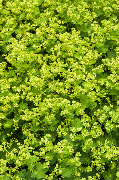 Alchemilla xanthochlora, late May. A form of Lady's mantle native to Great Britain and much of the rest of Europe. Closely relatred to Alchemilla vestita and A. glabra, but with leaves hairy only on the undersides.