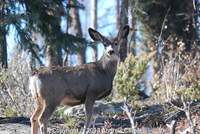 A Colorado Mule Deer gazes back at this photographer before leaping into the woods.