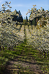 A cherry orchard in full bloom is seen from the perspective of someone walking along one of the dirt pathways between the rows.