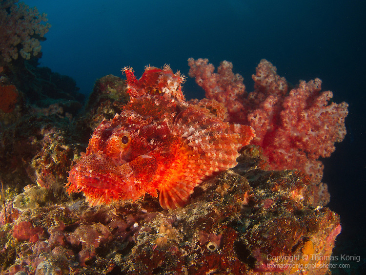 Apo Reef, Sulu Sea -- Red scorpionfish on the ledge of a sea wall.