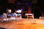 """Miniature horses and goats at the Big Apple Circus """"Dance On"""" on November 18, 2010 at Lincoln Center, New York City, New York. Louise's favorite part of the circus was the chorus line of miniature horses, a big horse, dogs and goats along with all the other acts.  (Photo by Sue Coflin/Max Photos)"""