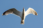 A Sea Gull is seen flying in Galway, County Galway, Ireland on Monday, June 24th 2013. (Photo by Brian Garfinkel)