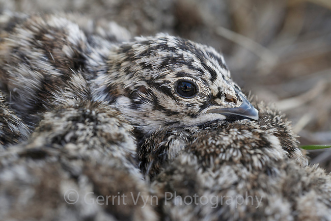 Newly hatched, day old Greater Sage-Grouse chicks. Sublette County, Wyoming. May.