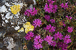 Flowering rhododendron also known as Lapland Rosebay in the Arctic National Wildlife Refuge
