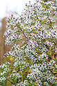 "Aster lateriflorus var. horizontalis, mid October. ""A dark, small-leaved, small-flowered Michaelmas daisy, which by mid-October produces thousands of tiny, off-white, pink-flushed flowers each with a rosy mauve centre. These sprays billow out from horizontally branching stems, arching this way and that, creating as Christo described it a 'seething mass' of pink foam. Plants are erect, dense and twiggy, requiring no staking, keeping their shape well into the winter when the intricate brown skeletons and delicate seedheads are dusted white with frost. By mid March plants are cut down to the ground to make way for new growth."" [Fergus Garrett, Great Dixter, Nurseryman's Favourites, Gardens Illustrated magazine, October 2013]"
