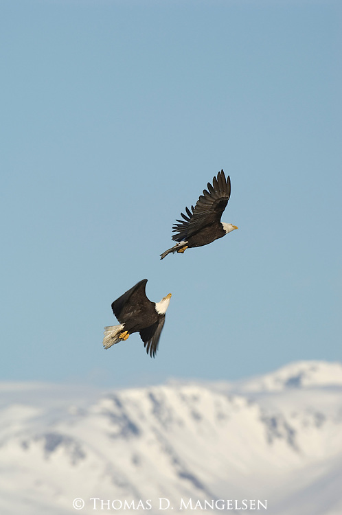 Two bald eagles fly over the Alaska Range near Kachemak Bay in Homer, Alaska.