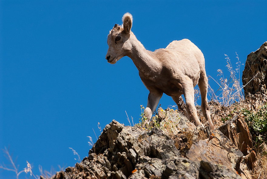 A big horn sheep is seen on Wild Horse Island on Flathead Lake near Polson, Montana.