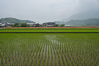 Newly planted rice with wheat, still unharvested, behind, growing in Kagawa's interior.