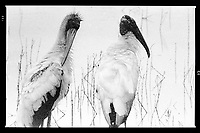 A pair of Wood Stork, Photographed on TMAX 3200 black and white film, Merritt Island, Florida, 1995, (Photo by Brian Cleary/bcpix.com)