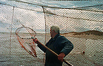 Salmon netter Bob Ritchie takes a fish out through the pocket of a bag net (or 'jumper') and lands it in the coble (boat) at Kinnaber, Angus. The once-thriving Scottish salmon netting industry fell into decline in the 1970s and 1980s when the numbers of fish caught reduced due to environmental and economic reasons. By 2007, only a handful of men still caught wild salmon and sea trout using traditional methods, mainly for export to the Continent.