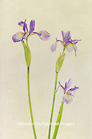 30099-00510 Blue Flag Irises (Iris versicolor) Digital Composite Marion Co. IL