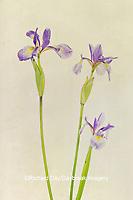 30099-00510 Blue Flag Irises (Iris versicolor) Digital Composite Marion Co. IL