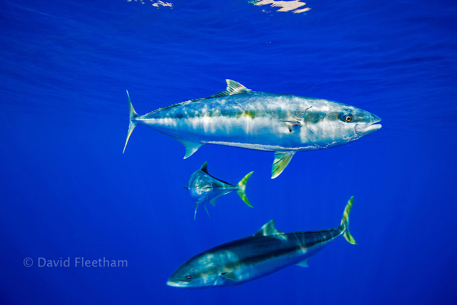 The California yellowtail, Seriola lalandi dorsalis, is also known as yellowtail amberjack or great amberjack, and is found along the Eastern Pacific coast, from Southern California to the Baja California Peninsula. Photographed off Guadalupe Island, Mexico.
