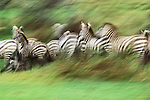 Grant's zebras in motion, Serengeti National Park, Tanzania<br /> <br /> Having spent much of my career trying to shoot the sharpest, most well-defined photographs. the technique of shooting impressionistically is refreshing. I made this image by panning along with the zebras, which blurred the fore- and background and highlights the motion.