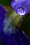 Raindrops on an iris blossom, Washington county, Oregon