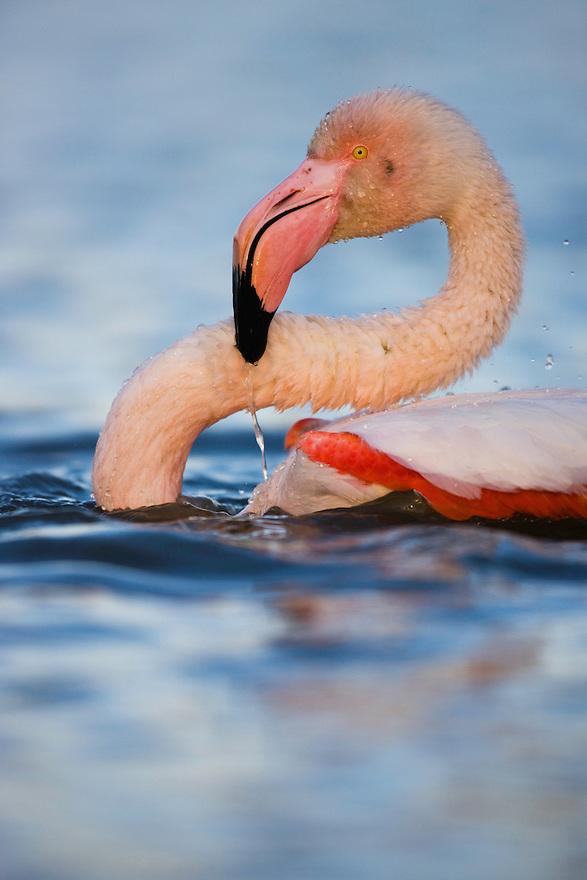 Greater Flamingo bathing (Phoenicopterus roseus), Pont Du Gau,  Camargue, France