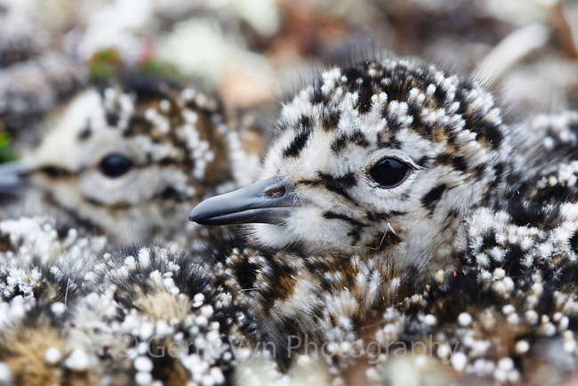 Newly hatched Red Knot (Calidris canutus rogersi) chicks. Chukotka, Russia. June.