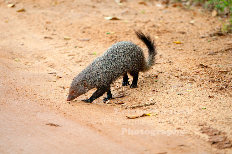 Ruddy mongoose (Herpestes smithii) is a species of mongoose found in hill forests of peninsular India and Sri Lanka. This mongoose along with the striped-necked mongoose are the only mongoose species endemic to India and Sri Lanka. Bundala National Park - Sri Lanka.