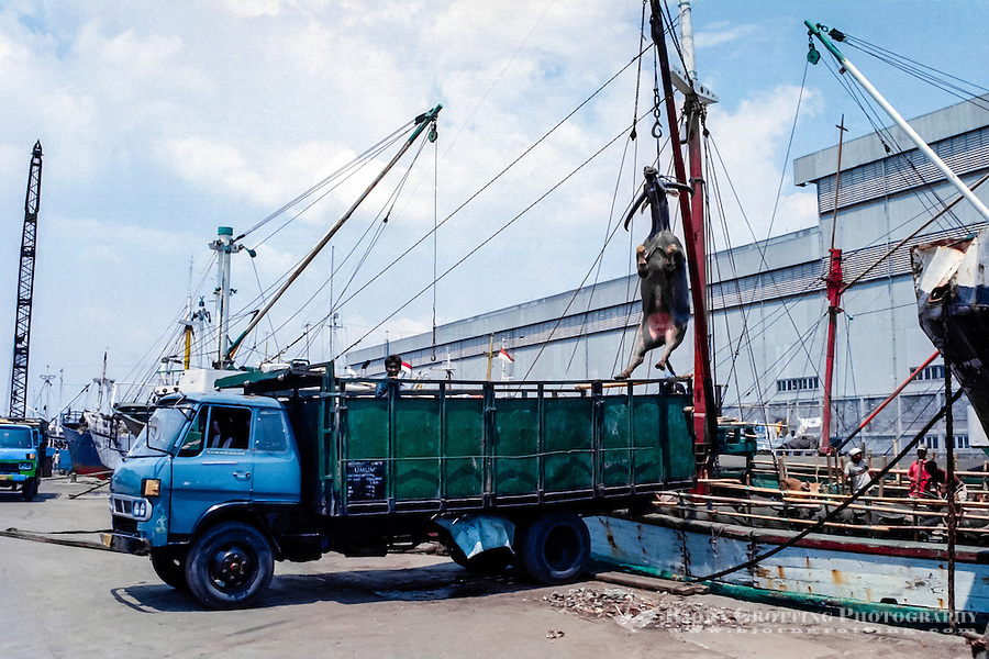 Java, East Java, Surabaya. Cattle transport. The animals did not seem to take any damage as they were lifted onto the truck.