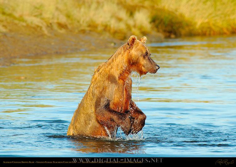 Alaskan Coastal Brown Bear, Golden Female Teaching Cubs to Fish, Silver Salmon Creek, Lake Clark National Park, Alaska