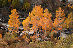 A photo of yellow and gold aspen treesnear South Lake in the Sierra Mountains of California