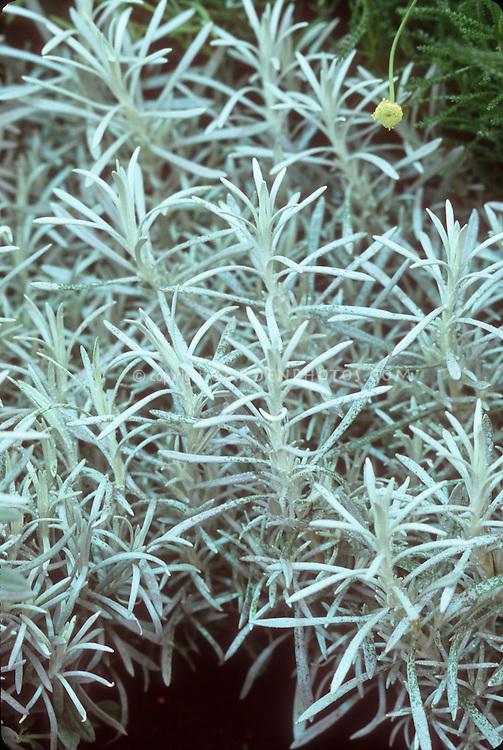 Helichrysum italicum 'Korma' (Curry Plant) aka H. angustifolium, herb