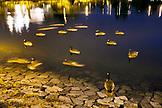 CANADA, Vancouver, British Columbia, Canadien Geese swim in False Creek, Charleson Park