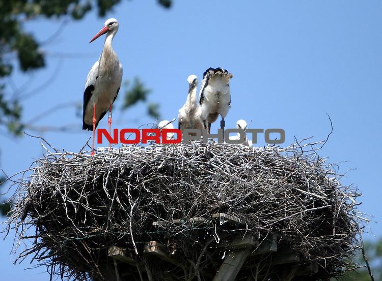 Stoerche am Duemmer See <br /> <br /> Huede, Duemmer See. Im Hueder Ochsenmoor brueten Stoerche. Waehrend 4 Jungstoerche im Nest auf Nahrung warten. Bewacht die Mutter (im Nest links) die Brutstaette, waehrend der Nachwuchs aus dem Nest scheisst / kackt. <br /> <br /> Foto: &copy; nph (nordphoto)<br /> <br /> *** Local Caption ***
