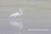 00688-02505 Great Egret (Ardea alba) feeding in wetland in fog, Marion Co., IL