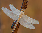 Dragonfly covered with frost