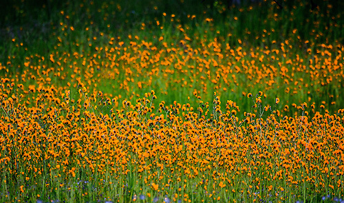 Bright wildflowers litter the landscape at Yellowsone National Park, Wyoming