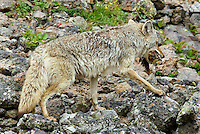 Wild Coyote (Canis latrans) with yellow-bellied marmot as prey.  Western U.S., Summer..
