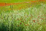 Orange hawkweed (Hieracium aurantiacum) in Calais, VT, USA