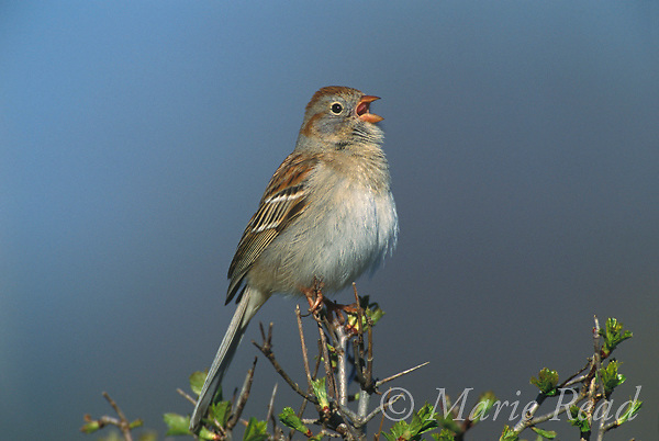 Field Sparrow (Spizella pusilla), male singing in spring, New York USA<br /> Slide #B164-1002