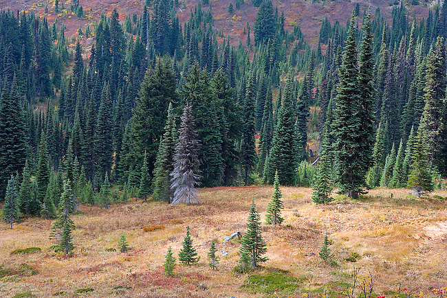 soft light on summer field and forest, Paradise Valley, Mt. Rainier National Park, WA.