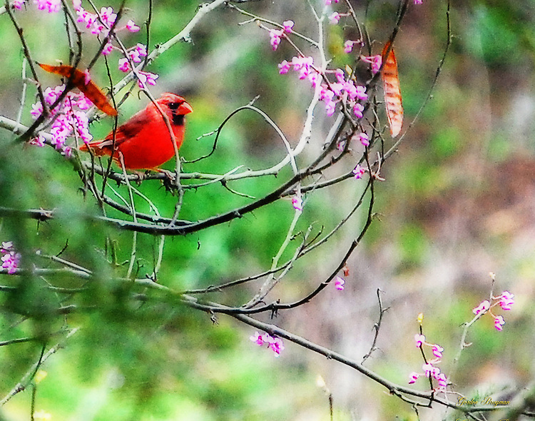 Cardinal at rest in a Redbud tree. Ortonized for a dreamlike appearance.
