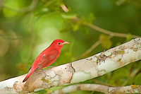 Summer Tanager in the Cayo District of Belize