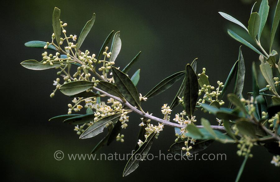 Olive, Oliven, Blüten, Olivenbaum, Oliven-Baum, Ölbaum, Olea europaea, Olive