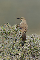 581970027 a wild lecontes thrasher toxostoma lecontei perches in a chapparal plant near maricopa in kern county california