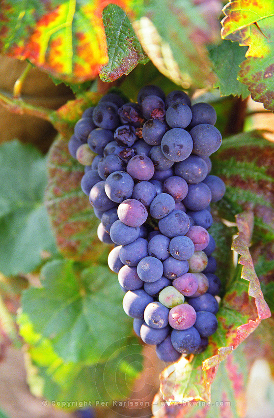 A bunch of Pinot Noir grapes in a Chambertin grand cru vineyard in Bourgogne