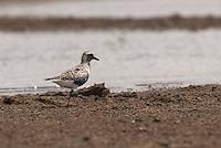 Aves procuram alimento no manguezal da Reserva Extrativista Marinha Mãe Grande no litoral do Pará, na foz do rio Amazonas.  As aves que habitam o mangue alimentam-se de crustáceos e algumas espécies de peixes. <br /> Curuçá, Pará, Brasil.<br />  Foto: Paulo Santos <br /> 17/05/2009
