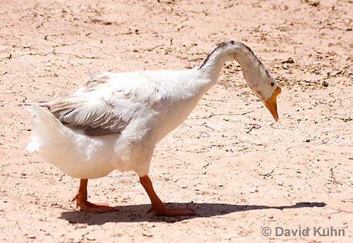 0225-1201  Escaped Domesticated White Chinese Goose in Arizona Foraging for Food (Domesticated and Descended from the Wild Swan Goose)  © David Kuhn/Dwight Kuhn Photography