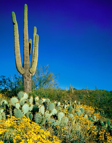 Saguaro cactus and prickly pear cactus, Saguaro National Park, Tuscon, Arizona, .  John offers private photo tours in Arizona and and Colorado. Year-round.
