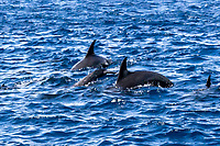 The spinner dolphin Stenella longirostris is a  dolphin found in tropical waters - they are famous for their acrobatic displays in which they spin as they leap through the air. The spinner dolphin has more geographic variation in form and color than other cetaceans. In the eastern Pacific they have smaller skulls and even a dwarf form is found around Southeast Asia. Some populations of spinner dolphins found in the eastern Pacific have bizarre backwards dorsal fins.
