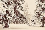 Winter Snow, Christmas 2008 Seattle