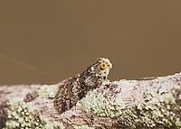 Moth, adult on Hackberry Tree Bark camouflaged, Lake Corpus Christi, Texas, USA
